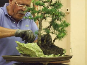 Italo Volgano Wessex Bonsai Society