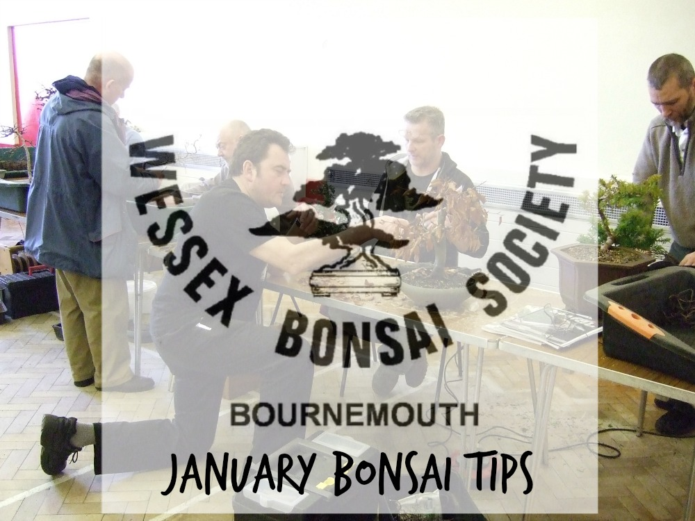 January Bonsai Tips
