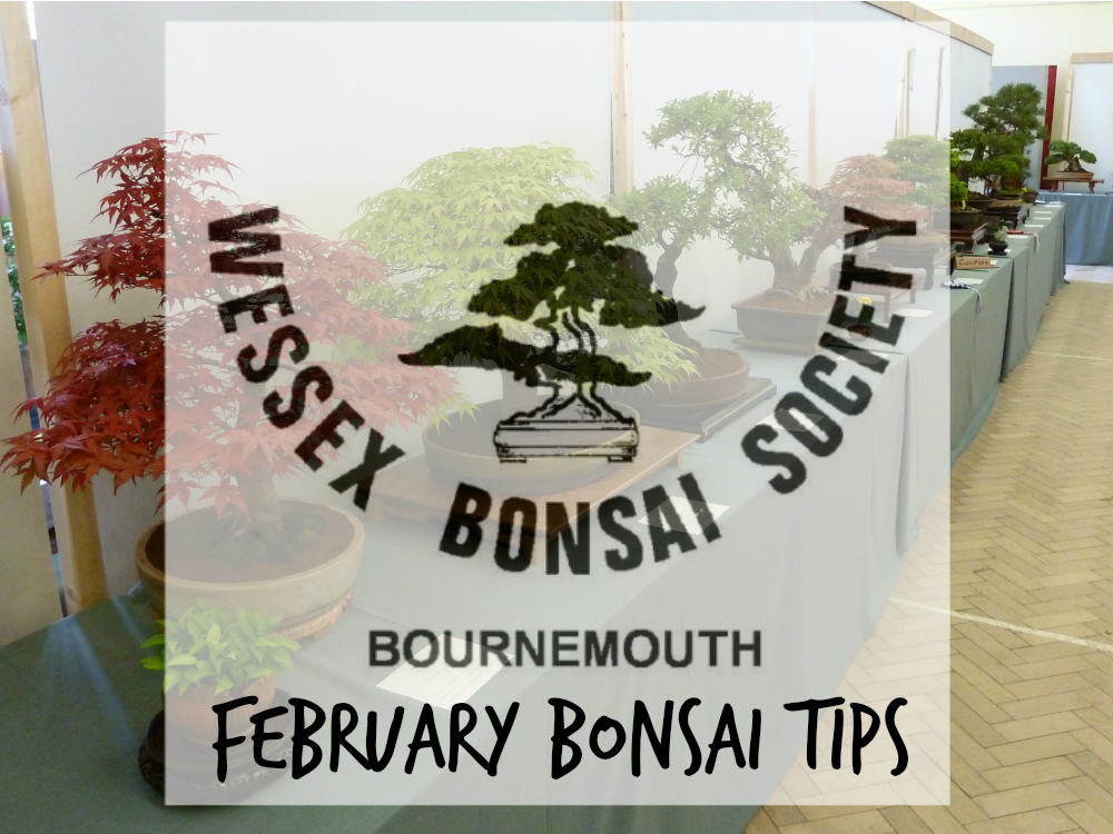 Repotting Bonsai Tips