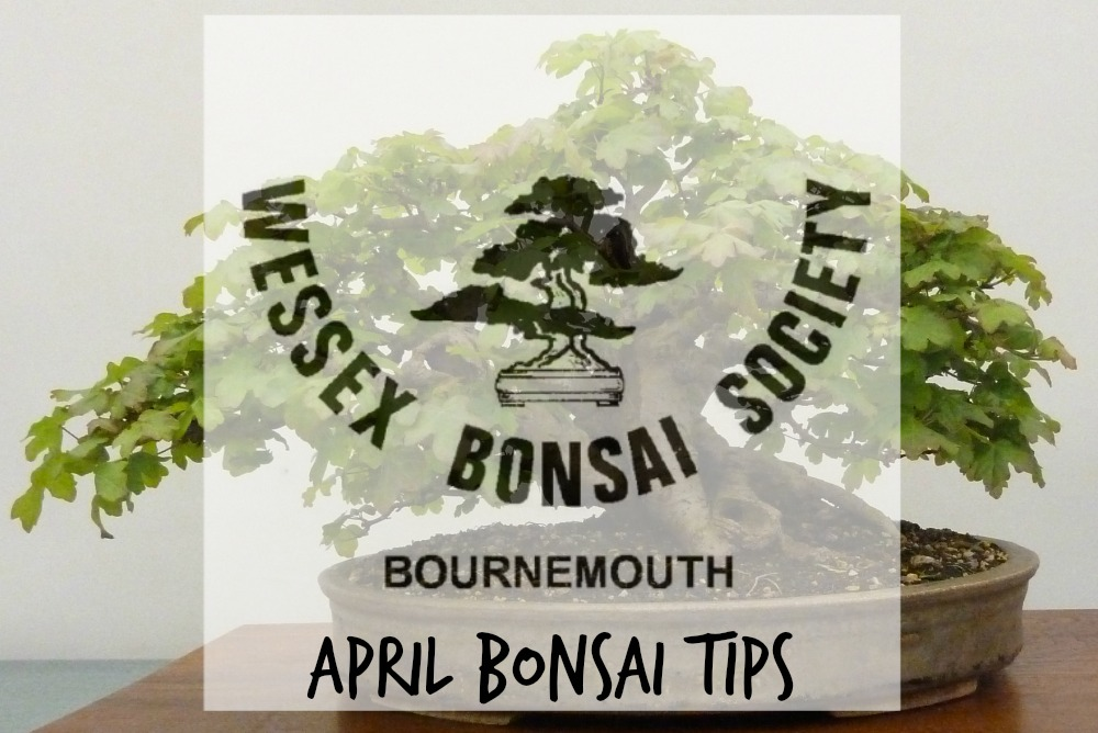 april bonsai tips