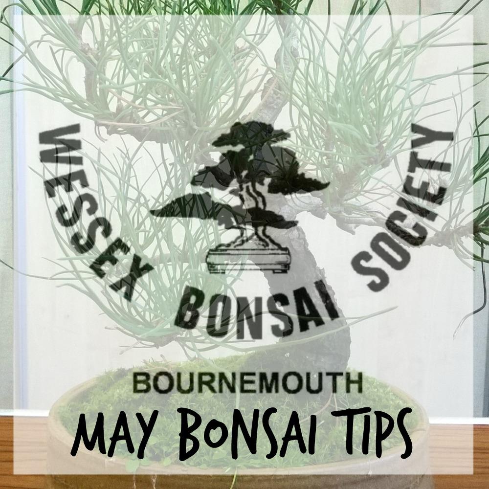may bonsai tips