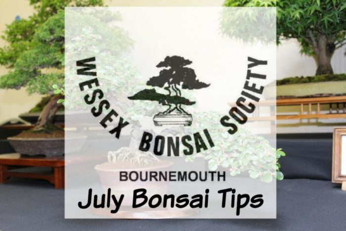 july bonsai tips