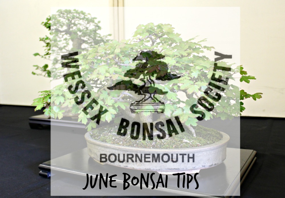 june bonsai tips