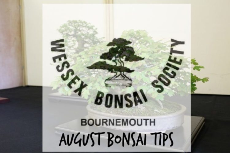 august bonsai tips