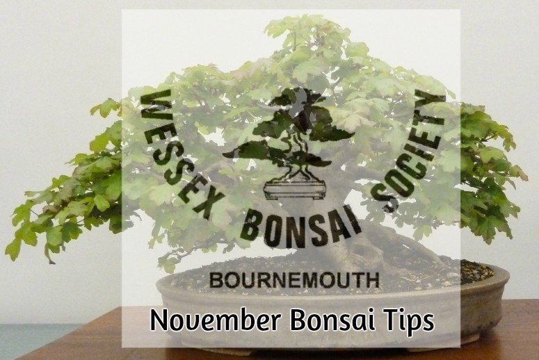 november bonsai tips
