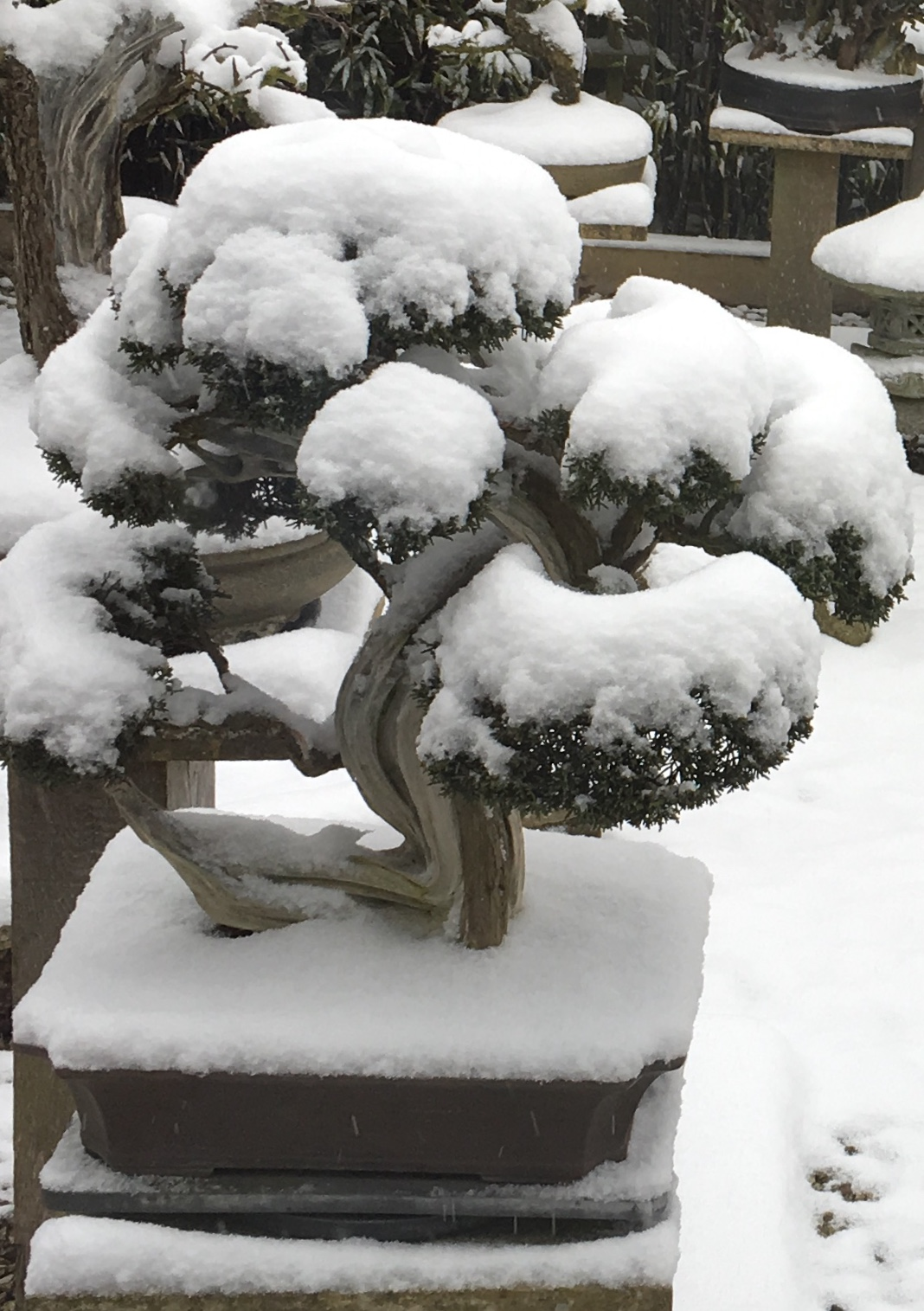 wessex bonsai trees in the snow